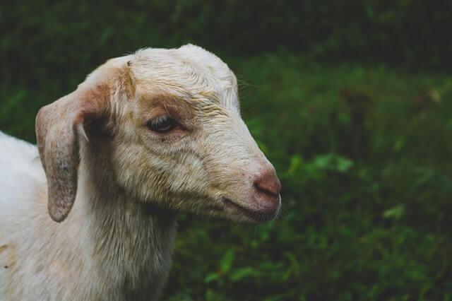 Ontwormen van schapen en geiten