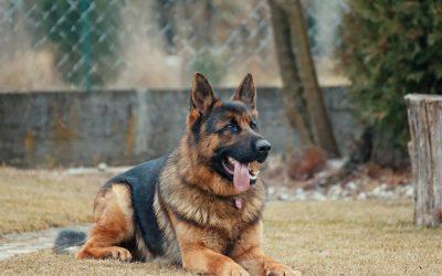 Waar moet je op letten als je een grote hond hebt?